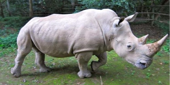 Генетики решили воскресить северных белых носорогов клонированием Подробнее читайте на Юж-Ньюз: http://xn----ktbex9eie.com.ua/archives/8262
