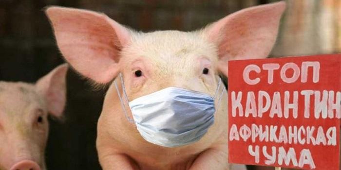 В Одесской области объявили карантин из-за вспышки чумы свиней Подробнее читайте на Юж-Ньюз: http://xn----ktbex9eie.com.ua/archives/12191