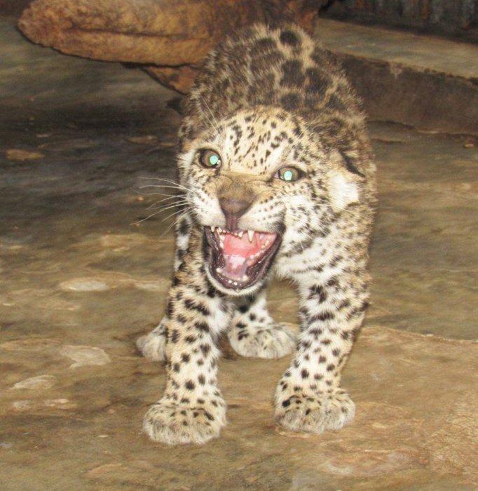 В Николаевском зоопарке показали подросших детенышей ягуара. ФОТО  Подробнее читайте на Юж-Ньюз: http://xn----ktbex9eie.com.ua/archives/19254