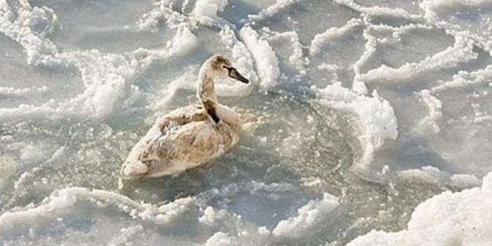 На Николаевщине жители просят спасти замерзающих в реке лебедей Подробнее читайте на Юж-Ньюз: http://xn----ktbex9eie.com.ua/archives/31217