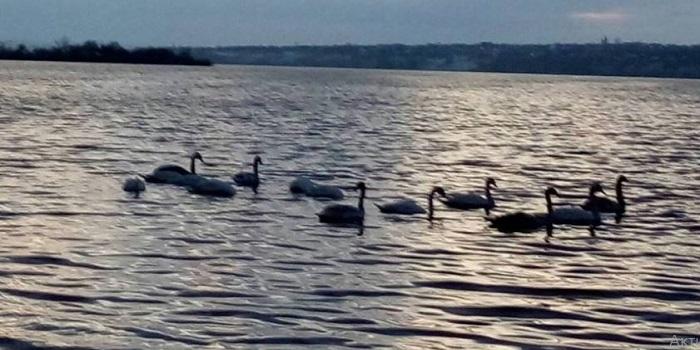 «Если не помочь — они погибнут»: к берегу реки в Николаеве прибилась стая лебедей Подробнее читайте на Юж-Ньюз: http://xn----ktbex9eie.com.ua/archives/33481