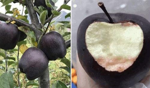 «Черный бриллиант» — редкий сорт яблок, о котором мало кто слышал  Подробнее читайте на Юж-Ньюз: http://xn----ktbex9eie.com.ua/archives/35078