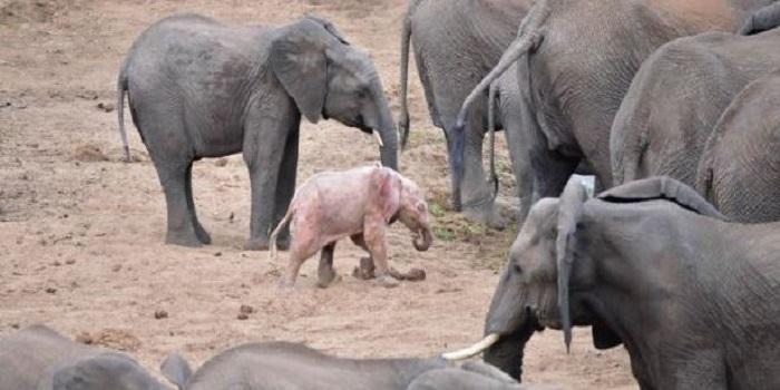 В Африке родился слоненок с розовым цветом кожи. Видео Подробнее читайте на Юж-Ньюз: http://xn----ktbex9eie.com.ua/archives/38627