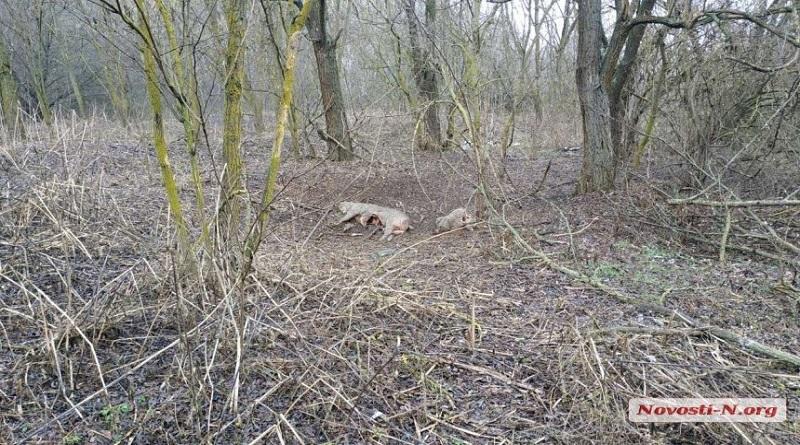 В лесу под Первомайском обнаружены трупы выброшенных кем-то свиней — снова африканская чума? Подробнее читайте на Юж-Ньюз: http://xn----ktbex9eie.com.ua/archives/71401