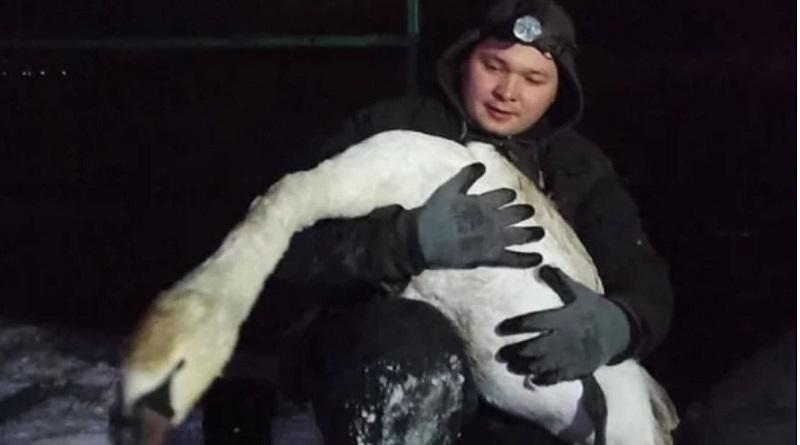 В Вознесенске неравнодушные жители спасли вмерзшего в лед лебедя