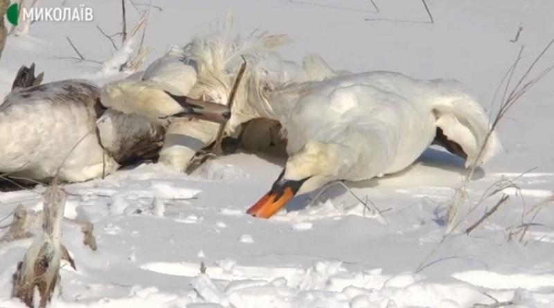 Расстрел лебедей в Николаевской области: появились подробности