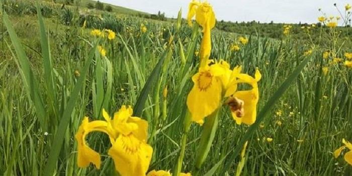 В Винницкой области расцвела долина желтых ирисов. Видео Подробнее читайте на Юж-Ньюз: http://xn----ktbex9eie.com.ua/archives/52622