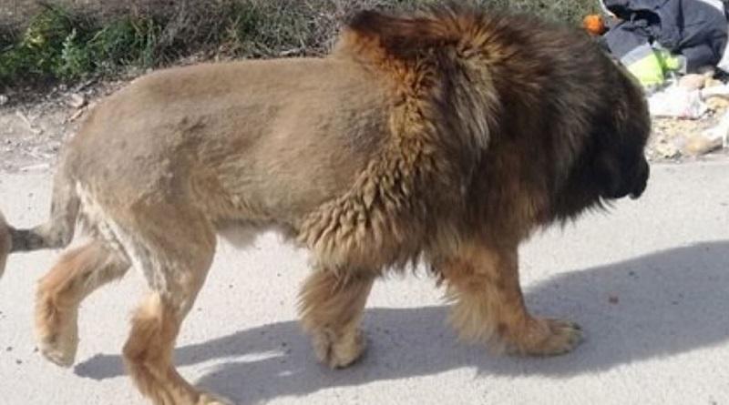 Поднявший панику в городе сбежавший лев оказался собакой Подробнее читайте на Юж-Ньюз: http://xn----ktbex9eie.com.ua/archives/74587