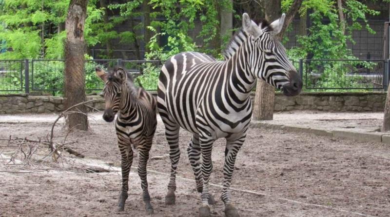 В Николаевском зоопарке родился малыш зебры