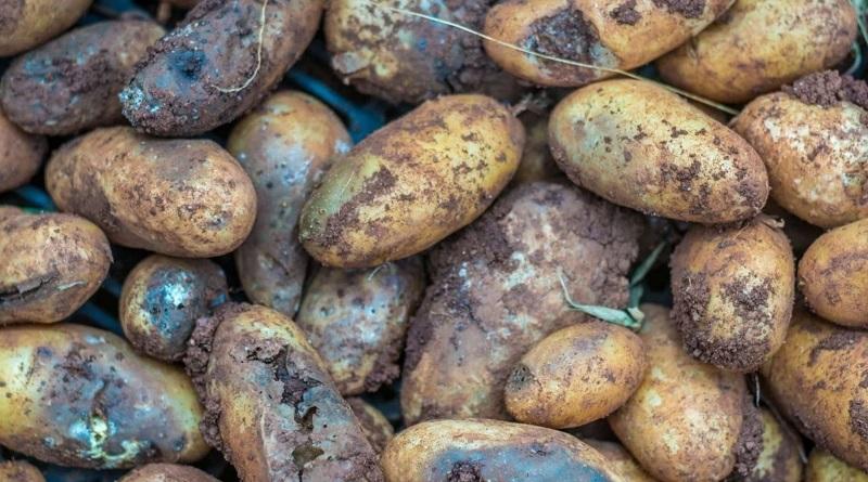 Урожай картофеля погибает: цены в Украине на овощ изменятся