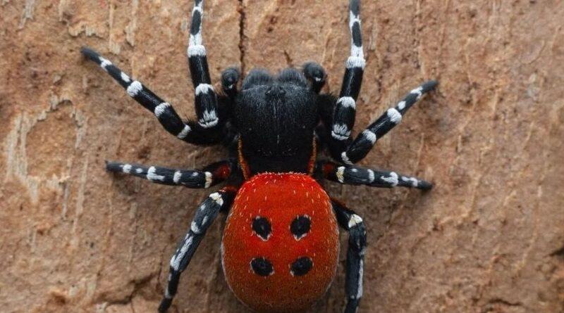 """Очень красивый и жутко опасный: под Киевом """"поселился"""" ядовитый тропический паук"""